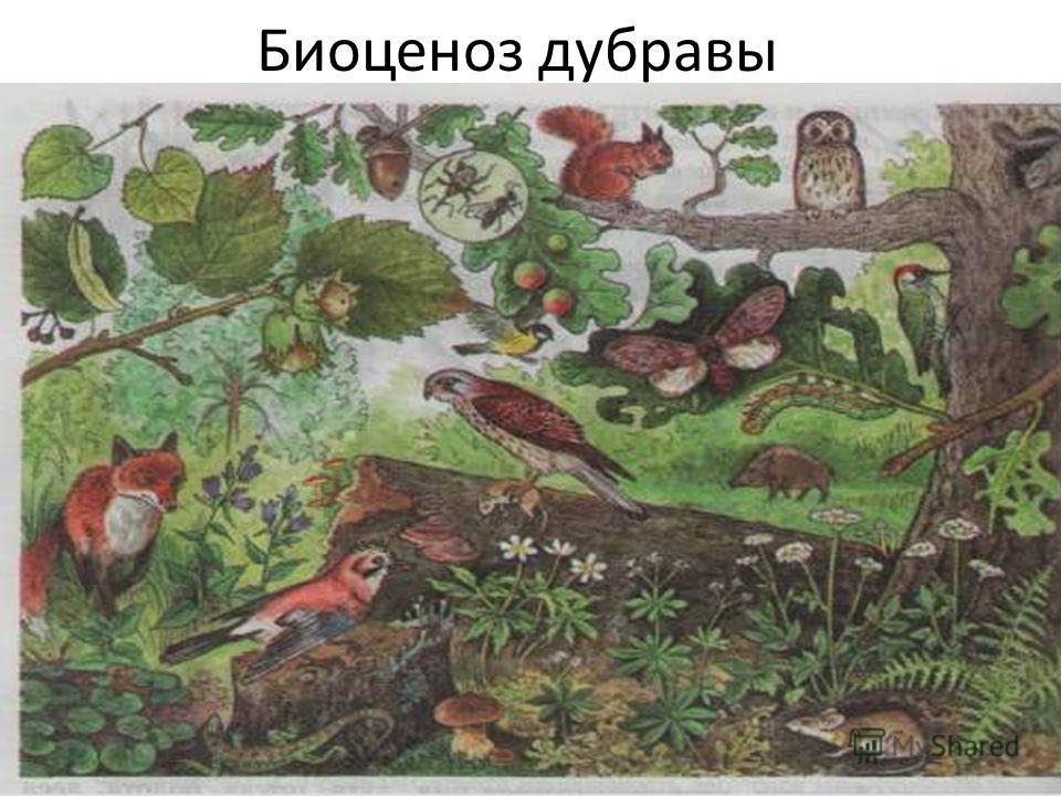 Биоценоз дубравы