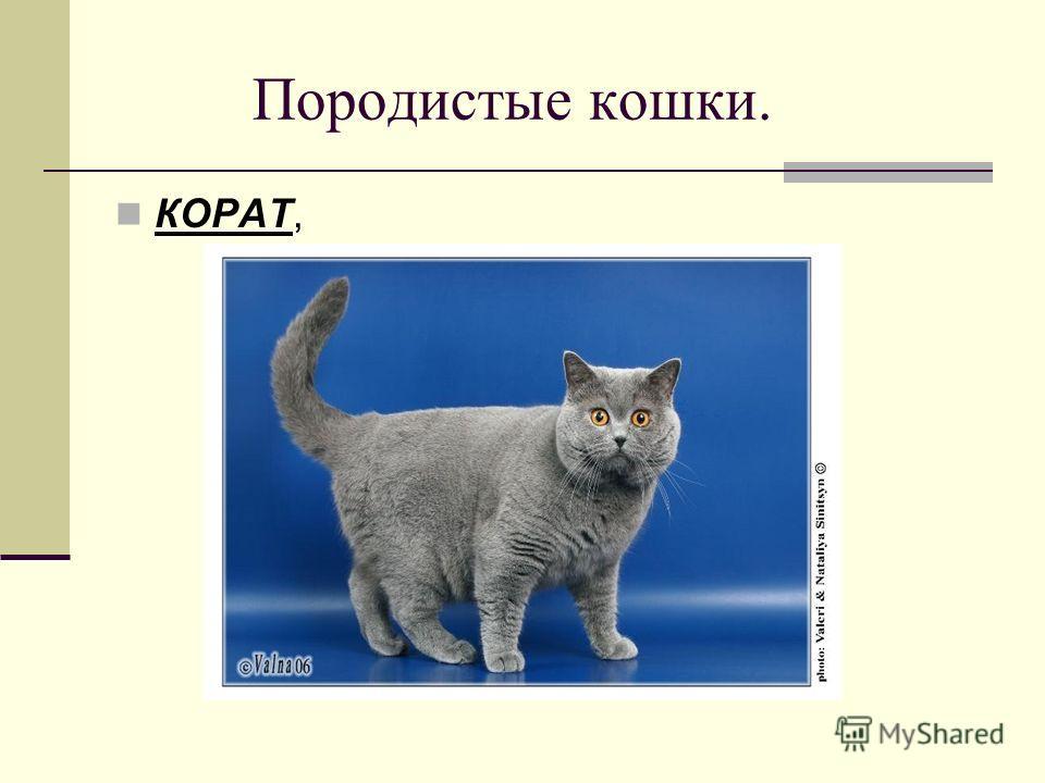 Породистые кошки. КОРАТ,