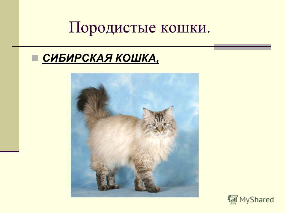 Породистые кошки. СИБИРСКАЯ КОШКА,