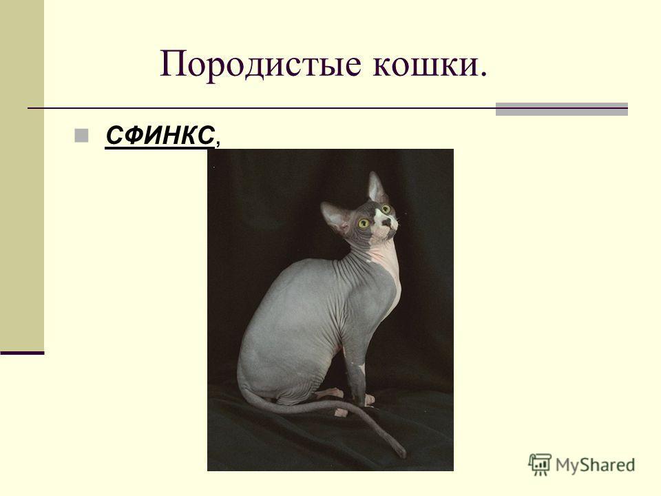 Породистые кошки. СФИНКС,
