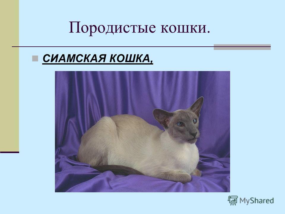 Породистые кошки. СИАМСКАЯ КОШКА,