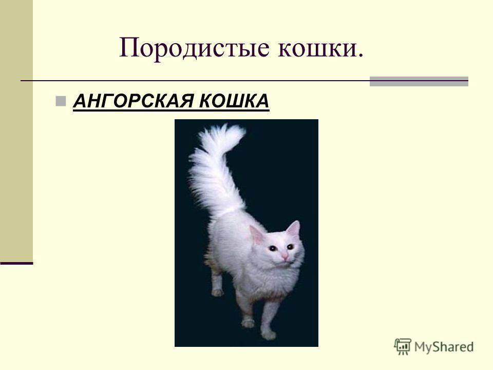Породистые кошки. АНГОРСКАЯ КОШКА