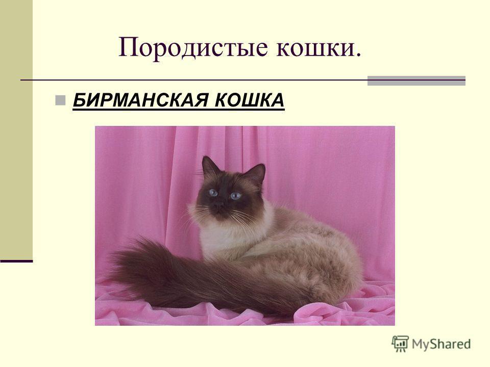 Породистые кошки. БИРМАНСКАЯ КОШКА