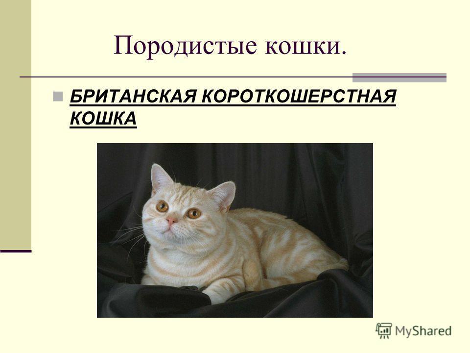 Породистые кошки. БРИТАНСКАЯ КОРОТКОШЕРСТНАЯ КОШКА