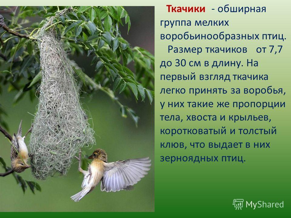 Ткачики - обширная группа мелких воробьинообразных птиц. Размер ткачиков от 7,7 до 30 см в длину. На первый взгляд ткачика легко принять за воробья, у них такие же пропорции тела, хвоста и крыльев, коротковатый и толстый клюв, что выдает в них зерноя