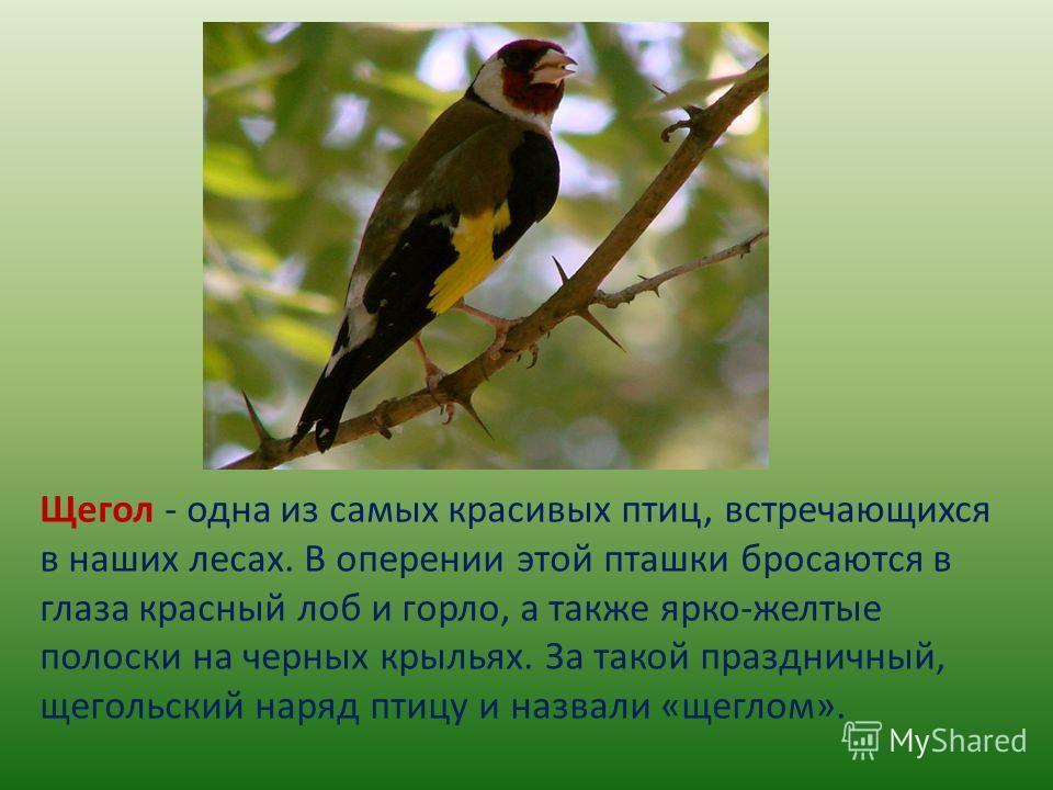 Щегол - одна из самых красивых птиц, встречающихся в наших лесах. В оперении этой пташки бросаются в глаза красный лоб и горло, а также ярко-желтые полоски на черных крыльях. За такой праздничный, щегольский наряд птицу и назвали «щеглом».