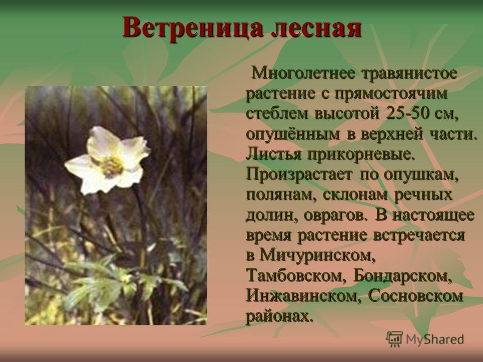 Ветреница лесная Многолетнее травянистое растение с прямостоячим стеблем высотой 25-50 см, опушённым в верхней части. Листья прикорневые. Произрастает по опушкам, полянам, склонам речных долин, оврагов. В настоящее время растение встречается в Мичури