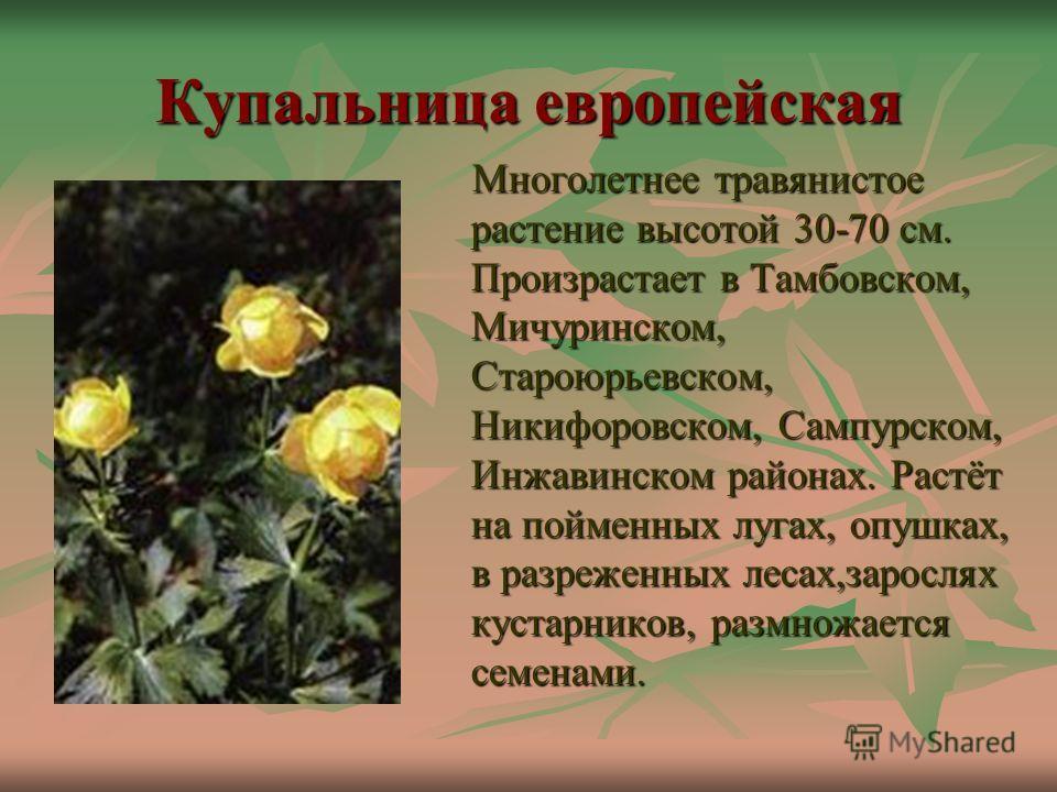 Купальница европейская Многолетнее травянистое растение высотой 30-70 см. Произрастает в Тамбовском, Мичуринском, Староюрьевском, Никифоровском, Сампурском, Инжавинском районах. Растёт на пойменных лугах, опушках, в разреженных лесах,зарослях кустарн