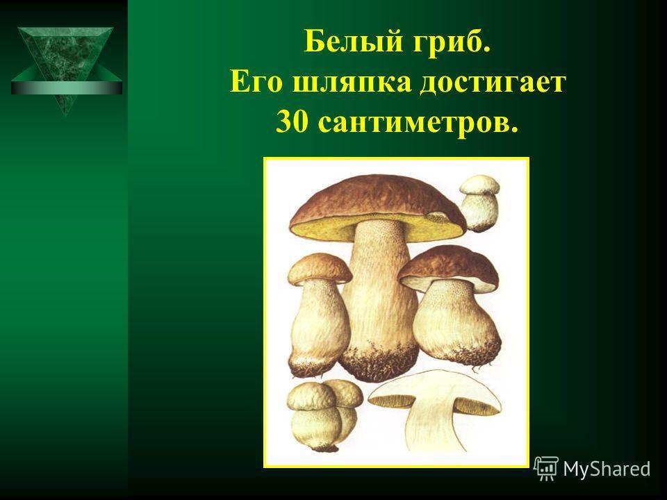 Белый гриб. Его шляпка достигает 30 сантиметров.