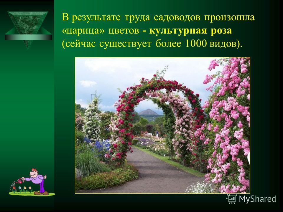 В результате труда садоводов произошла «царица» цветов - культурная роза (сейчас существует более 1000 видов).
