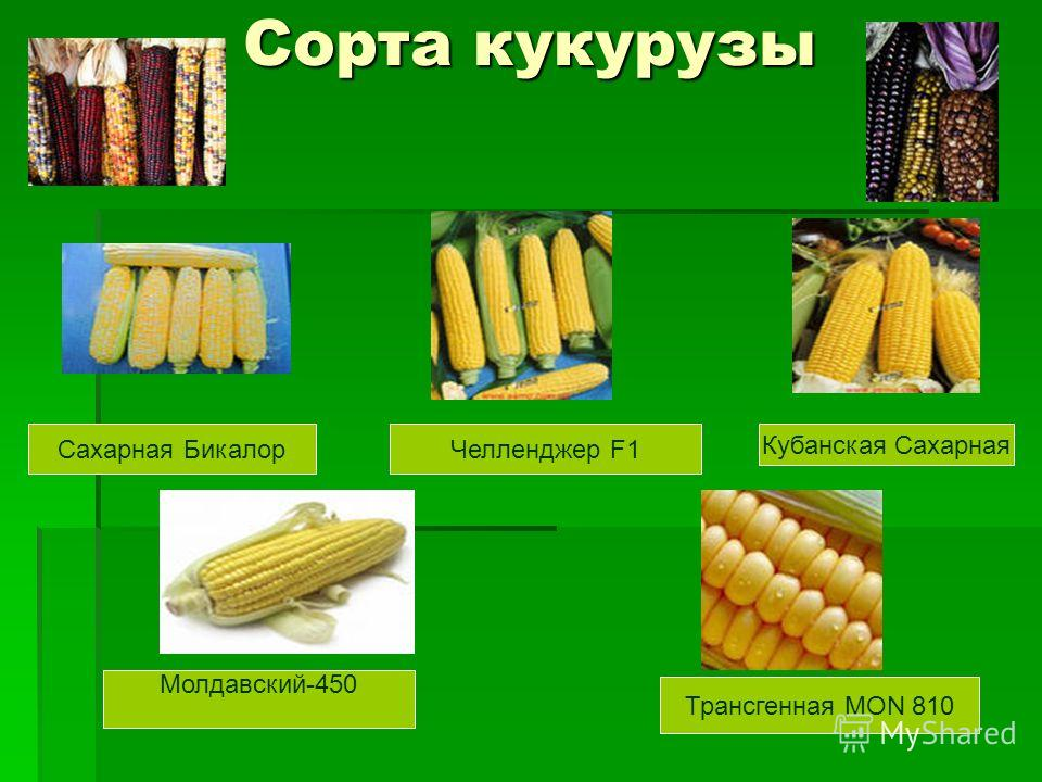 Сорта кукурузы Сахарная Бикалор Челленджер F1 Кубанская Сахарная Молдавский-450 Трансгенная MON 810