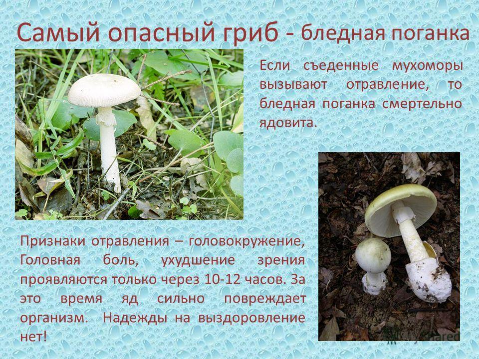Самый опасный гриб - бледная поганка Признаки отравления – головокружение, Головная боль, ухудшение зрения проявляются только через 10-12 часов. За это время яд сильно повреждает организм. Надежды на выздоровление нет! Если съеденные мухоморы вызываю
