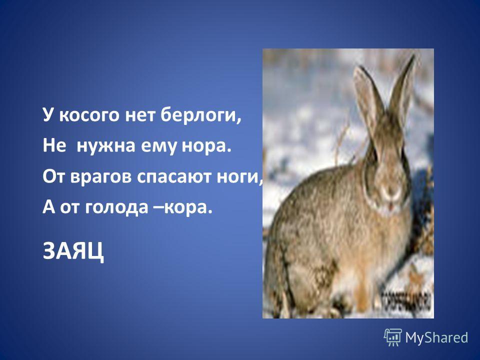 ЗАЯЦ У косого нет берлоги, Не нужна ему нора. От врагов спасают ноги, А от голода –кора.