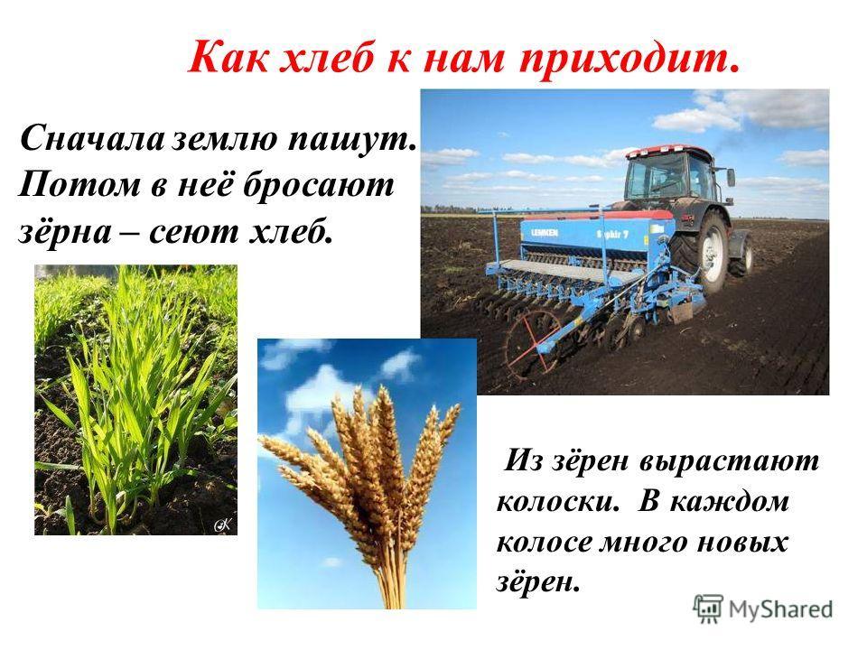 Как хлеб к нам приходит. Из зёрен вырастают колоски. В каждом колосе много новых зёрен. Сначала землю пашут. Потом в неё бросают зёрна – сеют хлеб.