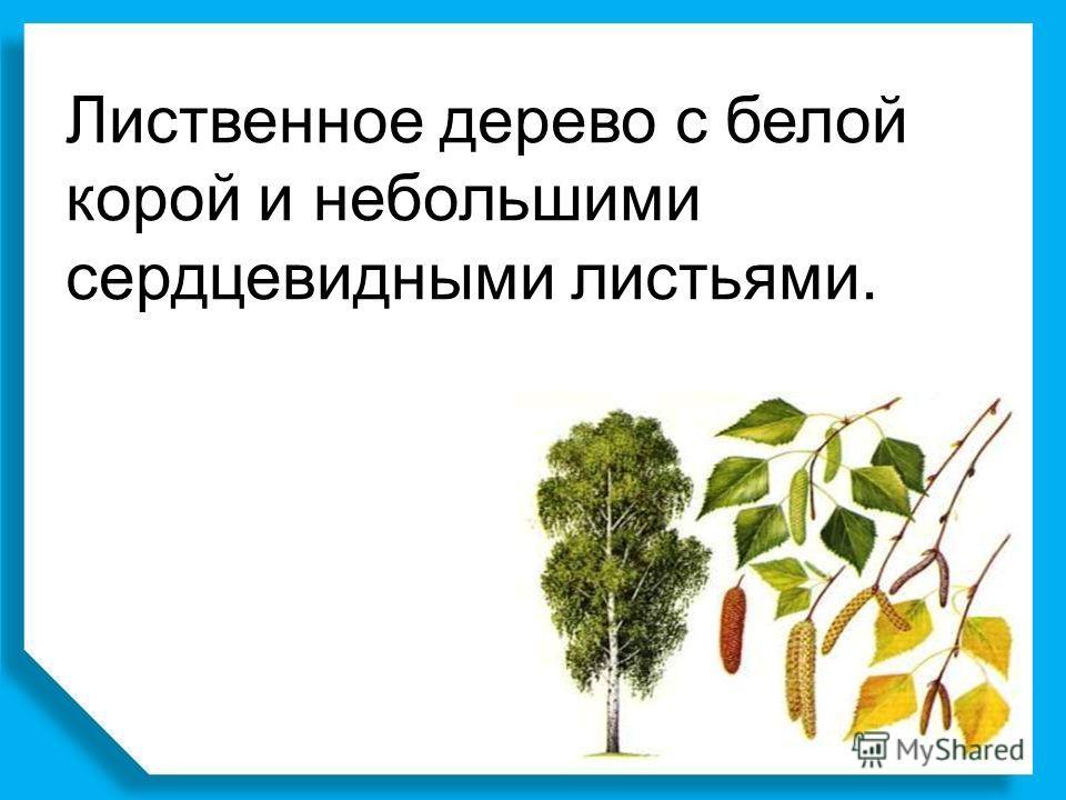 Лиственное дерево с белой корой и небольшими сердцевидными листьями.