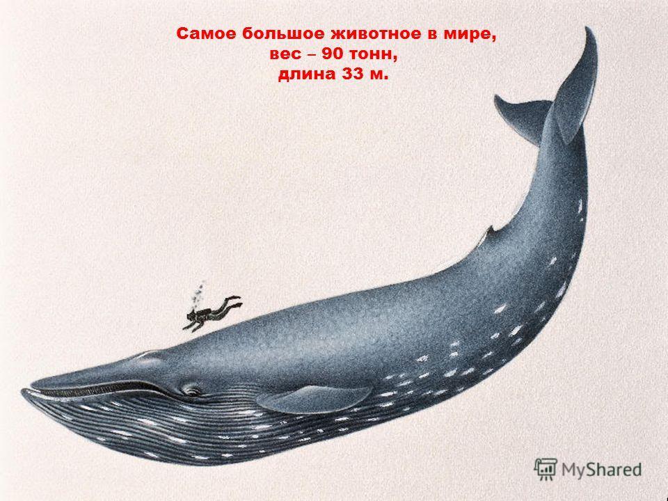 Самое большое животное в мире, вес – 90 тонн, длина 33 м.