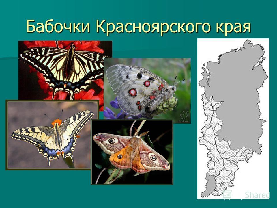 Бабочки Красноярского края