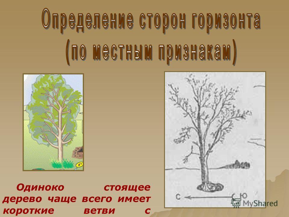 Одиноко стоящее дерево чаще всего имеет короткие ветви с северной стороны.