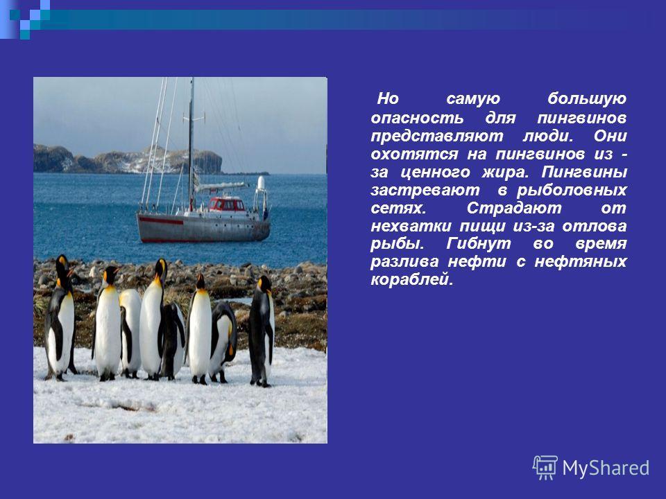 дж Но самую большую опасность для пингвинов представляют люди. Они охотятся на пингвинов из - за ценного жира. Пингвины застревают в рыболовных сетях. Страдают от нехватки пищи из-за отлова рыбы. Гибнут во время разлива нефти с нефтяных кораблей.