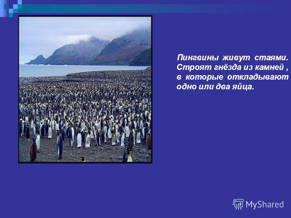 Пингвины живут стаями. Строят гнёзда из камней, в которые откладывают одно или два яйца.