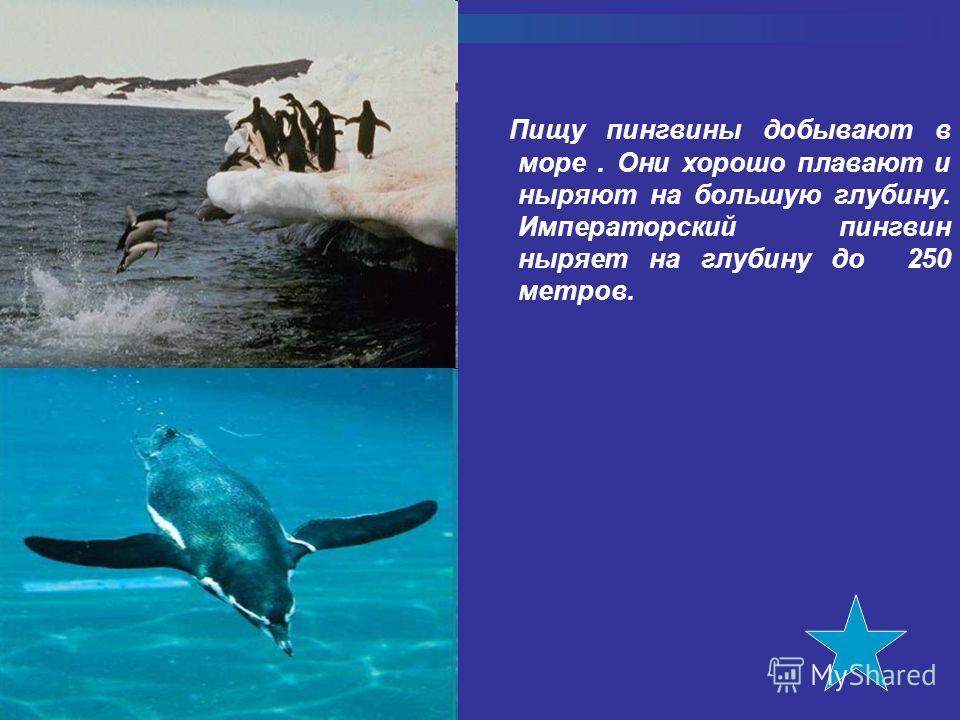 Пищу пингвины добывают в море. Они хорошо плавают и ныряют на большую глубину. Императорский пингвин ныряет на глубину до 250 метров.