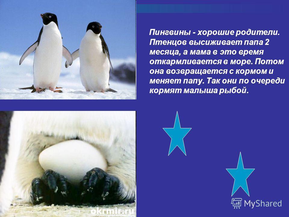 Пингвины - хорошие родители. Птенцов высиживает папа 2 месяца, а мама в это время откармливается в море. Потом она возвращается с кормом и меняет папу. Так они по очереди кормят малыша рыбой.