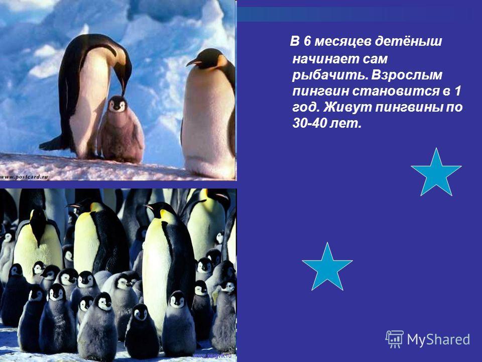 В 6 месяцев детёныш начинает сам рыбачить. Взрослым пингвин становится в 1 год. Живут пингвины по 30-40 лет.