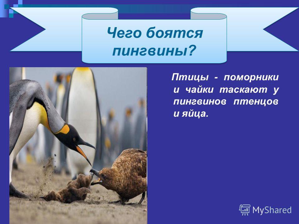 Птицы - поморники и чайки таскают у пингвинов птенцов и яйца. Чего боятся пингвины? Чего боятся пингвины?