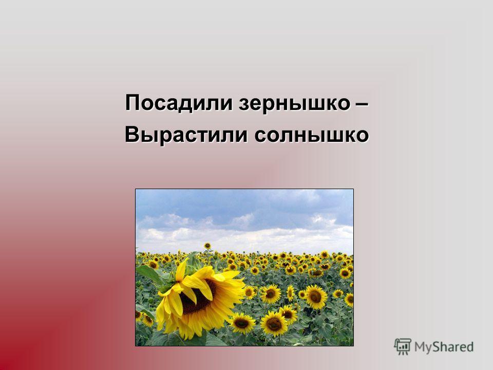 Посадили зернышко – Вырастили солнышко