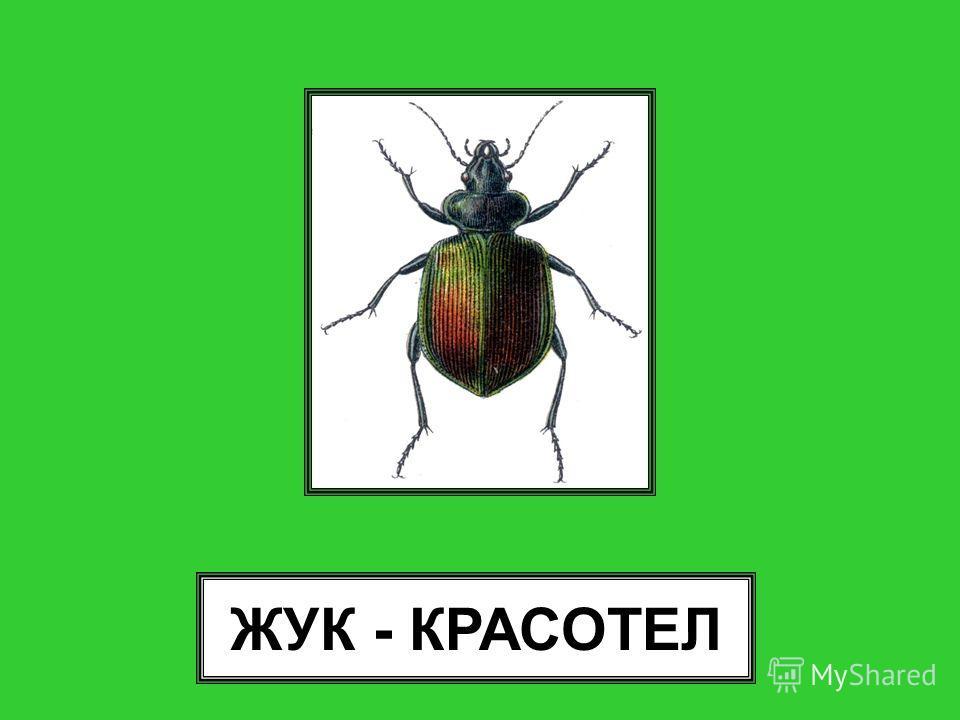 ЖУК - КРАСОТЕЛ