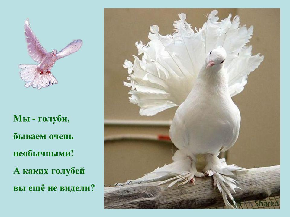 Мы - голуби, бываем очень необычными! А каких голубей вы ещё не видели?