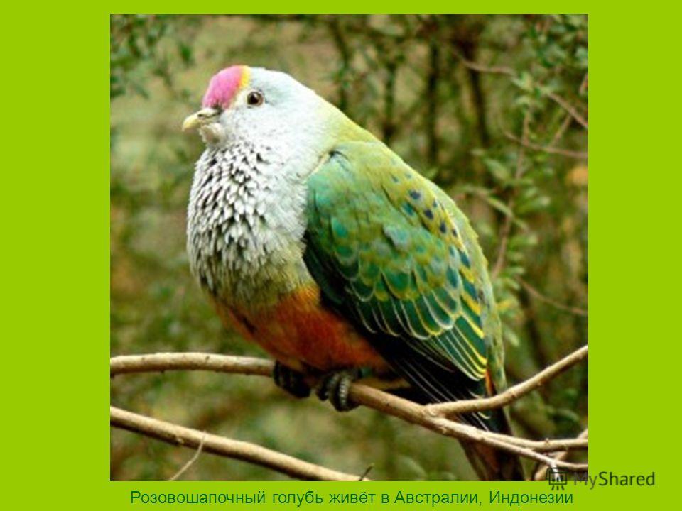 Розовошапочный голубь живёт в Австралии, Индонезии