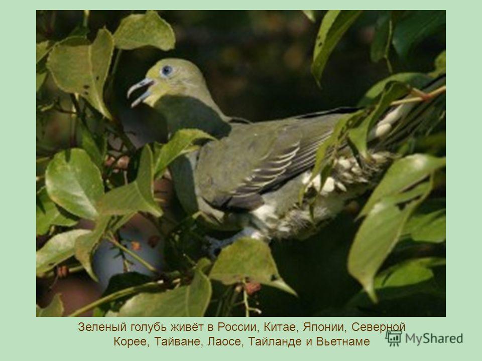 Зеленый голубь живёт в России, Китае, Японии, Северной Корее, Тайване, Лаосе, Тайланде и Вьетнаме