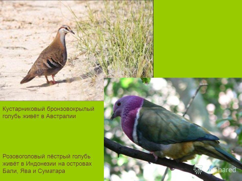 Розовоголовый пёстрый голубь живёт в Индонезии на островах Бали, Ява и Суматара Кустарниковый бронзовокрылый голубь живёт в Австралии