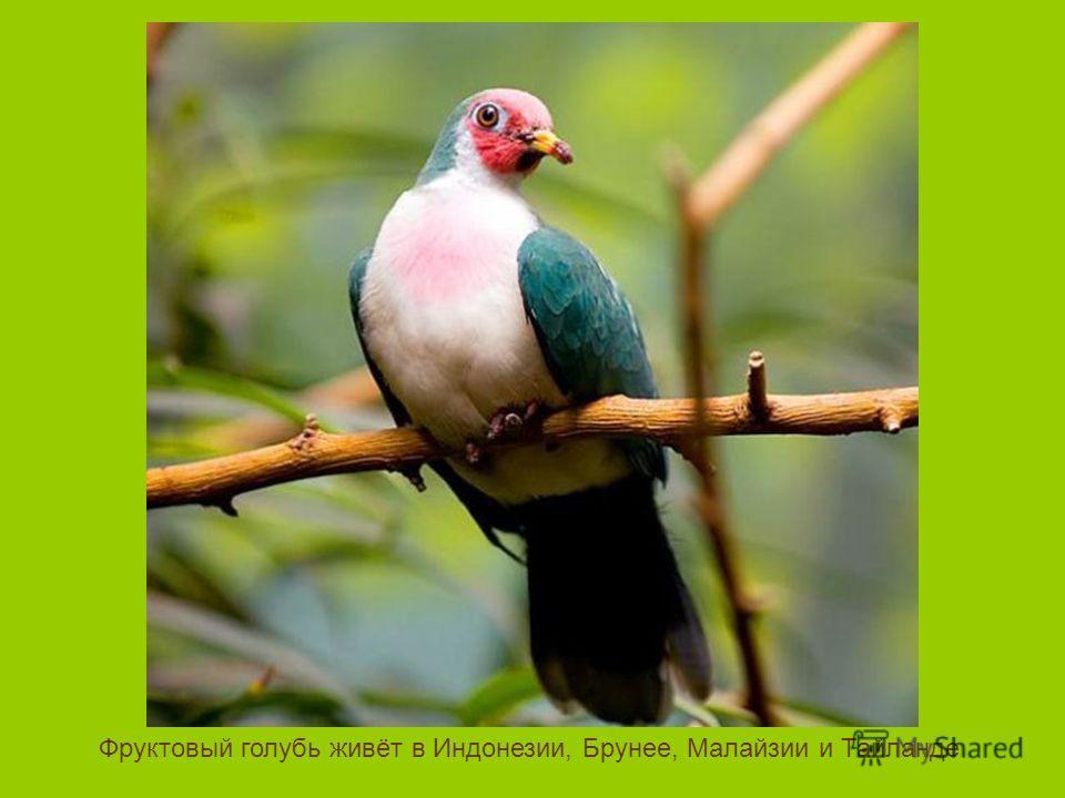Фруктовый голубь живёт в Индонезии, Брунее, Малайзии и Тайланде