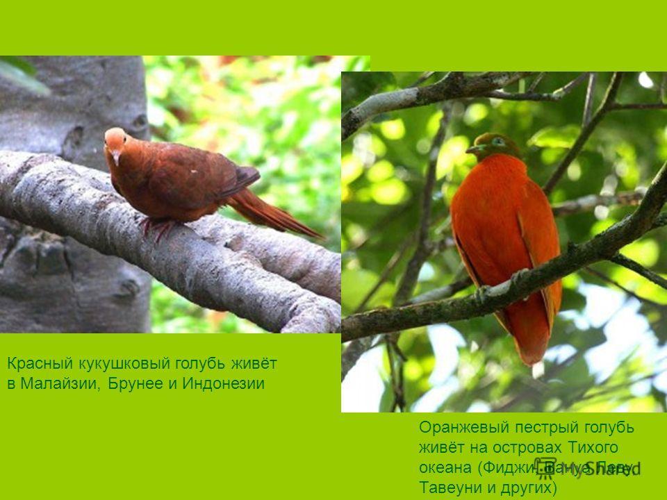 Красный кукушковый голубь живёт в Малайзии, Брунее и Индонезии Оранжевый пестрый голубь живёт на островах Тихого океана (Фиджи, Вануа Леву, Тавеуни и других)