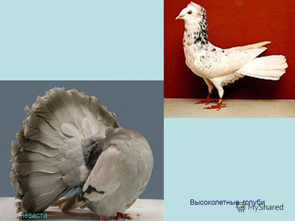 Высоколетные голуби невеста