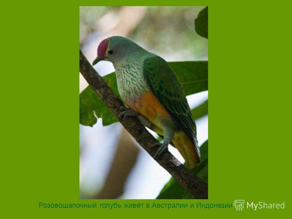 Розовошапочный голубь живёт в Австралии и Индонезии