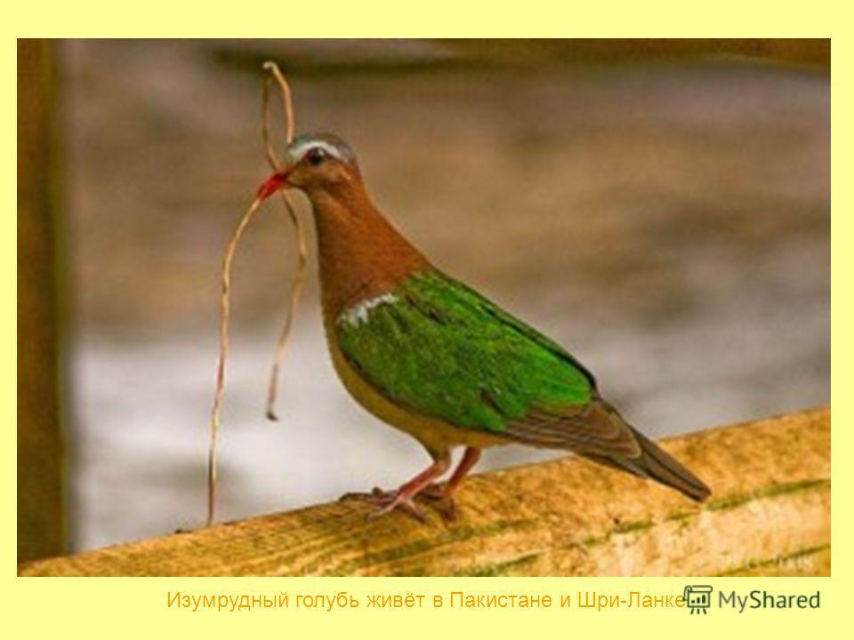 Изумрудный голубь живёт в Пакистане и Шри-Ланке