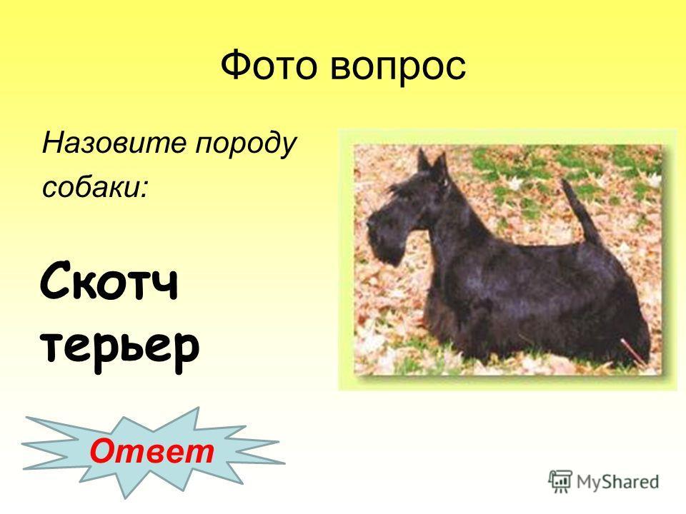 Фото вопрос Назовите породу собаки: Ответ Скотч терьер