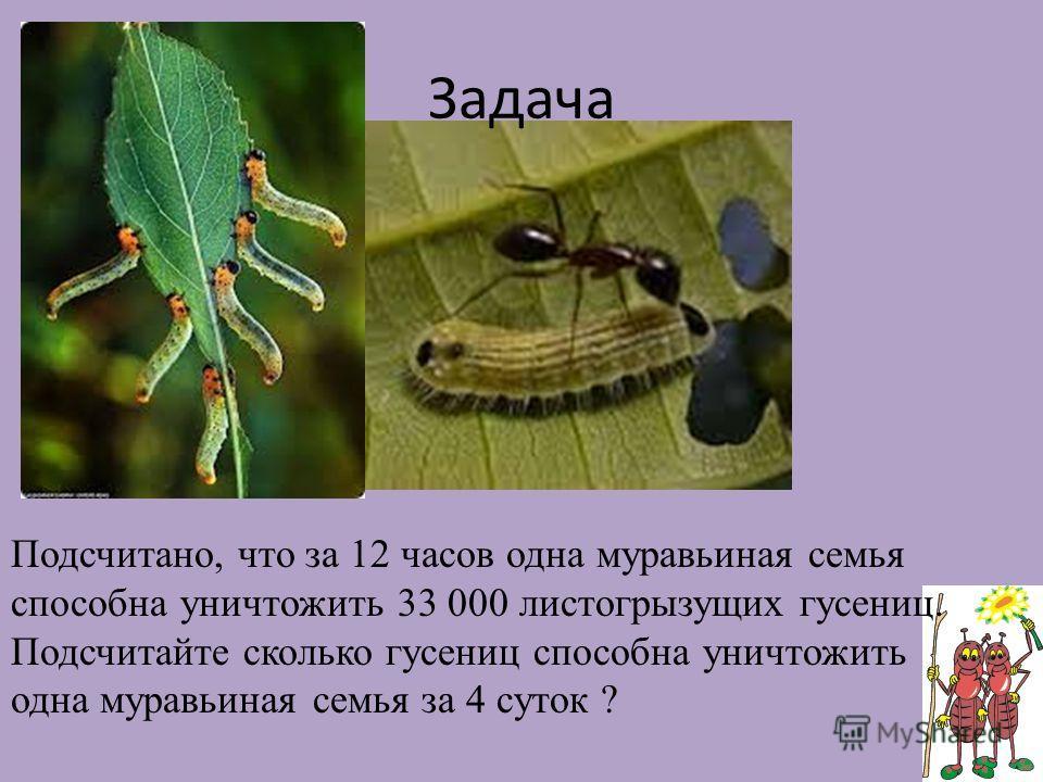 Задача Подсчитано, что за 12 часов одна муравьиная семья способна уничтожить 33 000 листогрызущих гусениц. Подсчитайте сколько гусениц способна уничтожить одна муравьиная семья за 4 суток ?