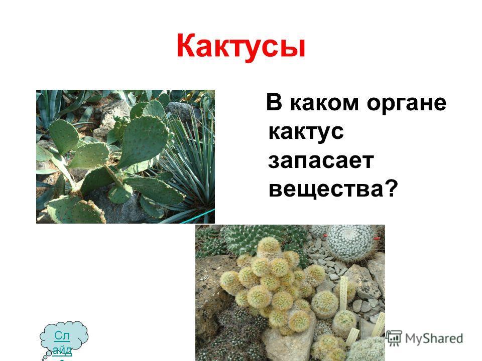 Кактусы В каком органе кактус запасает вещества? Сл айд 2