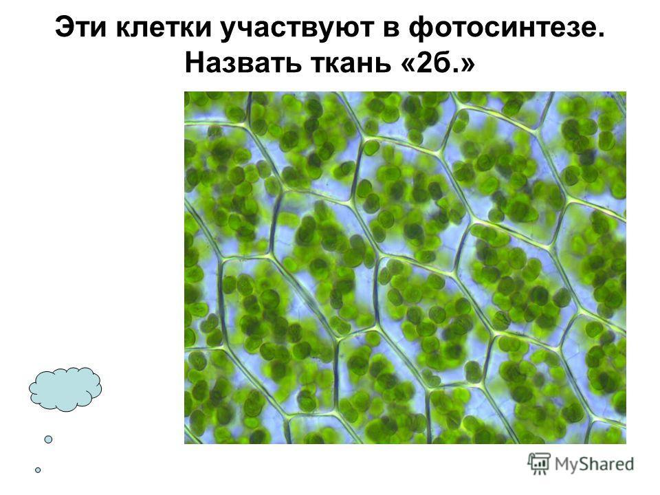 Эти клетки участвуют в фотосинтезе. Назвать ткань «2 б.»