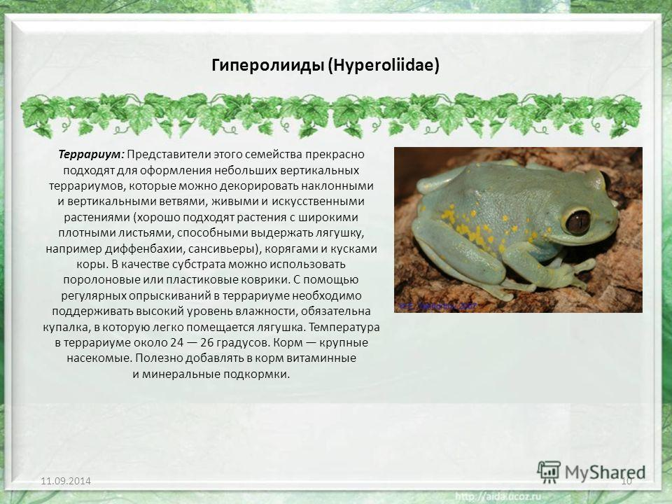 Гиперолииды (Hyperoliidae) Террариум: Представители этого семейства прекрасно подходят для оформления небольших вертикальных террариумов, которые можно декорировать наклонными и вертикальными ветвями, живыми и искусственными растениями (хорошо подход