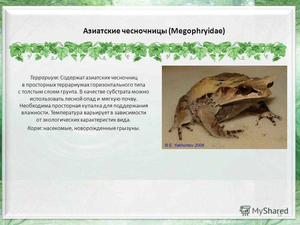 Азиатские чесночницы (Megophryidae) Террариум: Содержат азиатских чесночниц в просторных террариумах горизонтального типа с толстым слоем грунта. В качестве субстрата можно использовать лесной опад и мягкую почву. Необходима просторная купалка для по