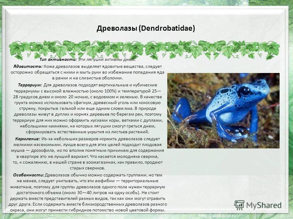 Древолазы (Dendrobatidae) Тип активности: Эти лягушки активны днем. Ядовитость: Кожа древолазов выделяет ядовитые вещества, следует осторожно обращаться с ними и мыть руки во избежание попадания яда в ранки и на слизистые оболочки. Террариум: Для дре