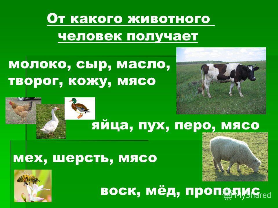 От какого животного человек получает молоко, сыр, масло, творог, кожу, мясо яйца, пух, перо, мясо мех, шерсть, мясо воск, мёд, прополис