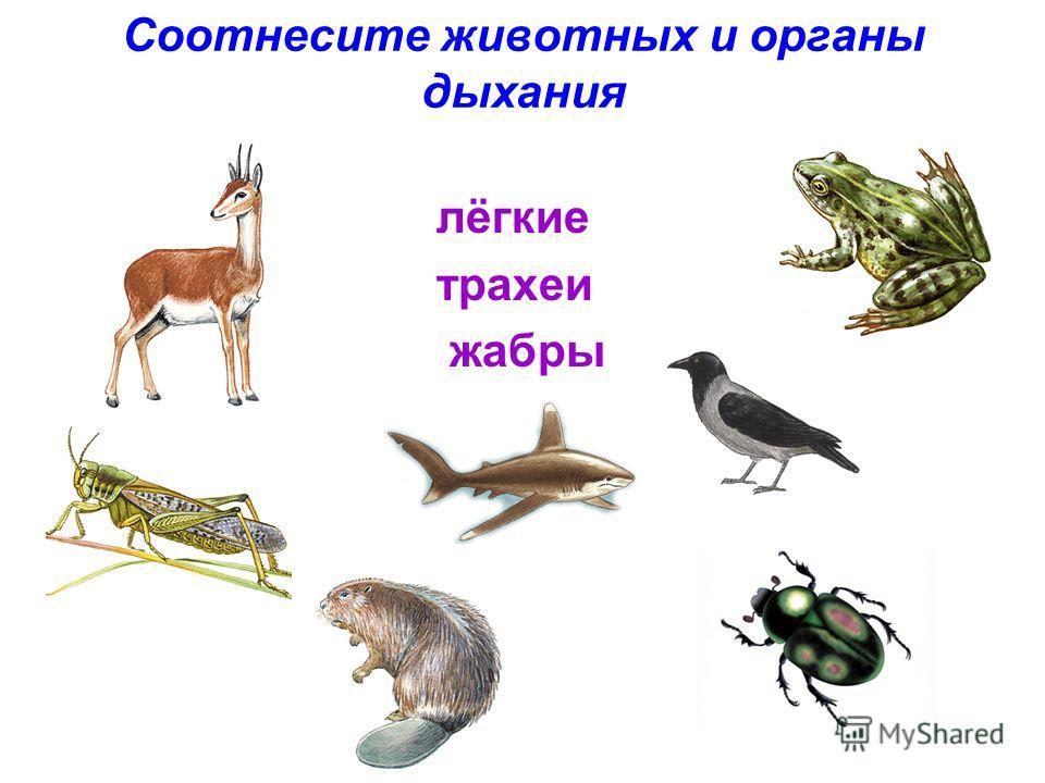 Соотнесите животных и органы дыхания лёгкие трахеи жабры