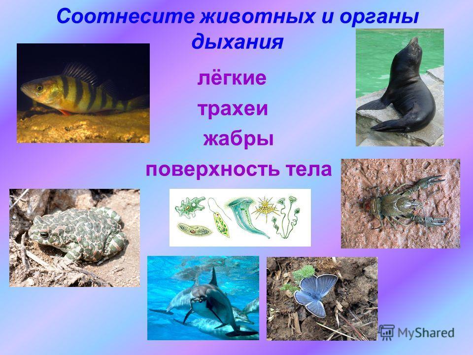 Соотнесите животных и органы дыхания лёгкие трахеи жабры поверхность тела