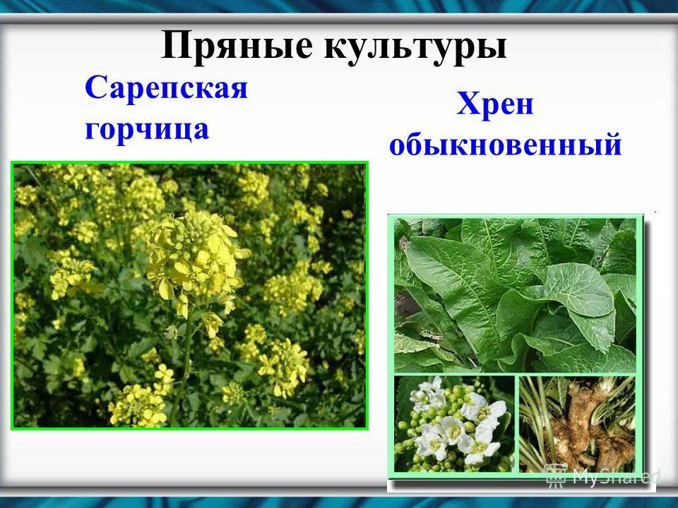 Пряные культуры Сарепская горчица Хрен обыкновенный